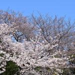 桜は楽しみたいけど、紫外線は浴びたくない!
